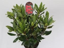 Rododendron (T) 'Karl Naue' - Rhododendron (T) 'Karl Naue' - 2
