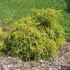 Cypřišek hrachonosný 'Sungold' - Chamaecyparis pisifera 'Sungold'             - 2/2