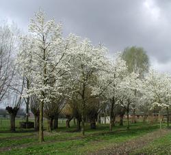 Šácholan japonský - Magnolia kobus     - 2