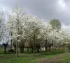 Šácholan japonský - Magnolia kobus     - 2/2