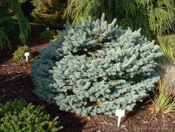 Smrk pichlavý 'Glauca Globosa' - Picea pungens 'Glauca Globosa'  - 2
