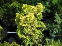 Cypřišek tupolistý 'Marian' - Chamaecyparis obtusa 'Marian'             - 2