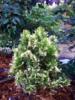 Zeravec východní 'Fleck' - Platycladus (Thuja) orientalis 'Fleck'        - 2/3