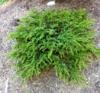 Jalovec obecný 'Green Carpet' - Juniperus communis 'Green Carpet'             - 2/2
