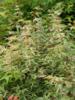 Javor dlanitolistý 'Kagiri-Nishiki'-Acer palmatum 'Kagiri-Nishiki'       - 2/2