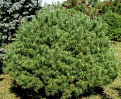 Borovice lesní 'Beuvronensis' - Pinus sylvestris 'Beuvronensis'  - 2