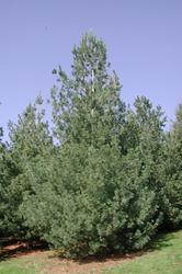 Borovice ohebná - Pinus flexilis             - 2