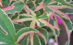 Javor dlanitolistý 'Butterfly'-Acer palmatum 'Butterfly'                 - 2