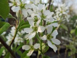 Amelanchier spicata - Muchovník klasnatý            - 2