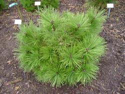 Borovice černá 'Buda' - Pinus nigra 'Buda'            - 2