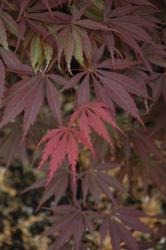 Javor dlanitolistý 'Burgundy Lace' - Acer palmatum                   - 2