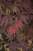 Javor dlanitolistý 'Burgundy Lace' - Acer palmatum                   - 2/2