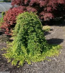 Javor dlanitolistý 'Ryusen' - Acer palmatum 'Ryusen'                    - 2