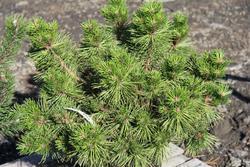 Borovice smolná 'Nana' - Pinus resinosa 'Nana'                       - 2
