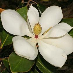 Šácholan velkokvětý 'Goliath' - Magnolia grandiflora 'Goliath'     - 2