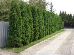 Zerav západní 'Smaragd' - Thuja occidentalis 'Smaragd'        - 2
