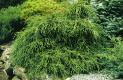 Cypřišek hrachonosný 'Filifera Nana' - Chamaecyparis pisifera 'Filifera Nana' - 2