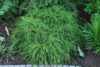 Cypřišek hrachonosný 'Filifera Nana' - Chamaecyparis pisifera 'Filifera Nana' - 2/3