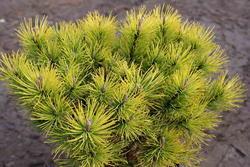 Borovice kleč 'Ophir' - Pinus mugo 'Ophir'                   - 2