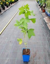 Rybíz černý 'Titania' - Ribes nigrum 'Titania' prostokořenný stromkový         - 2
