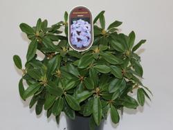 Rododendron (T) 'Metallica' – Rhododendron (T) 'Metallica' - 2