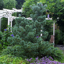 Borovice drobnokvětá 'Negishi' - Pinus parviflora 'Negishi'  - 2
