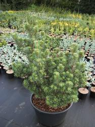 Borovice lesní 'Hibernia' - Pinus sylvestris 'Hibernia'     - 2