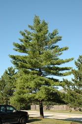 Borovice vejmutovka - Pinus strobus                      - 2