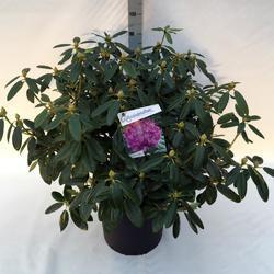 Rododendron (T) 'Catawbiense Grandiflorum'-Rhododendron (T) 'Catawbiense Grandiflorum' - 2