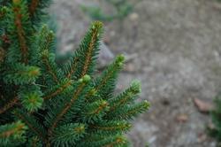 Smrk ztepilý 'Will´s Zwerg' - Picea abies 'Will´s Zwerg'                  - 2