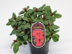 Rododendron 'Scarlet Wonder' – Rhododendron 'Scarlet Wonder'     - 2