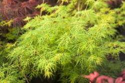 Javor dlanitolistý 'Emerald Lace'-Acer palmatum                   - 2