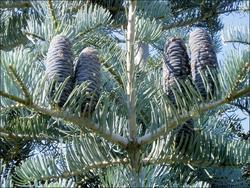 Jedle ojíněná - Abies concolor  - 2