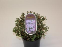 Rododendron 'Impeditum' – Rhododendron 'Impeditum'     - 2