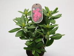 Rododendron (T) 'Cosmopolitan'-Rhododendron (T) 'Cosmopolitan' - 2