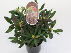 Rododendron (T) 'E. Red Foliage'-Rhododendron (T) 'E. Red Foliage' - 2