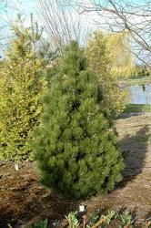 Borovice bělokorá 'Malinki' - Pinus leucodermis 'Malinki' - 2