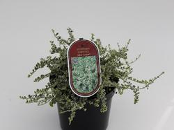 Euonymus fortunei 'Silver Carpet' - Brslen Fortuneův 'Silver Carpet' - 2