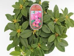 Rododendron (T) 'Germania' - Rhododendron (T) 'Germania' - 2