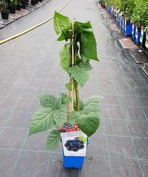 Ostružiník beztrnný 'Dircksen' - Rubus fruticosus 'Dircksen'  - 2