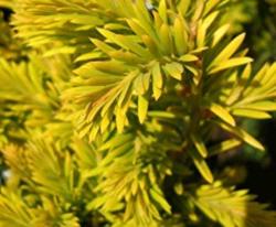 Tis červený 'Summergold' - Taxus baccata 'Summergold'        - 2