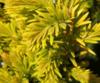 Tis červený 'Summergold' - Taxus baccata 'Summergold'        - 2/3