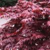 Javor dlanitolistý 'Bloodgood' - Acer palmatum                       - 3/3