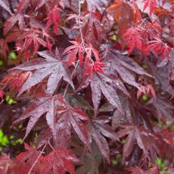 Javor dlanitolistý 'Bloodgood' - Acer palmatum                       - 3