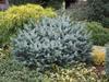 Smrk sitka 'Silberzwerg' - Picea sitchensis 'Silberzwerg'                 - 3/3