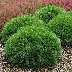 Borovice kleč 'Varella'- Pinus mugo 'Varella'                 - 3