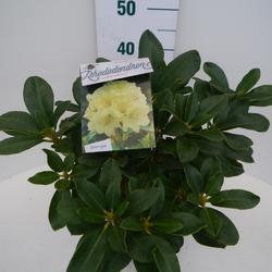 Rododendron (T) 'Horizon Monarch' - Rhododendron (T) 'Horizon Monarch' - 3