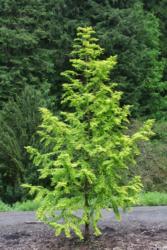 Metasekvoje čínská 'Gold Rush' - Metasequoia glyptostroboides 'Gold Rush' - 3