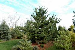 Borovice drobnokvětá 'Tempelhof' - Pinus parviflora 'Tempelhof'  - 3