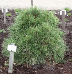 Borovice černá 'Nana Würstle' - Pinus nigra 'Nana Würstle' - 3